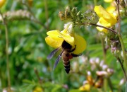 Hawaii crops are threatened by decline of yellow-faced bees.