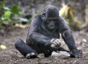 The eastern lowland gorilla is now categorized from endangered to critically endangered with mobile phones as being the indirect cause of it. Scientists are calling out the Democratic Republic of Congo to swiftly act on the issue because if the decline continues the gorilla is expected to entirely vanish in just five years.