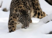 A Recent survey on the number of snow leopards only reached about 4,000 due to the continuous conflict between the animals and humans. Conservations experts suggest several solutions to this problem that the government should implement so that the existence of the magnificent beast is preserved for further generations.