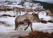 Considering that global climate change conditions are getting worse, can we still put a stop to it? How can reindeers be of help to fight this feared phenomenon? What's the truth behind claims that reindeers are the secret to put an end to this global concern? Find out what authorities have to say