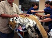 A basketball-sized hairball was successfully removed from a 400-pound, not-so-hungry tiger.<br />