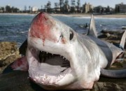A shark caught off of the coast of Huntington Beach, Calif. may be the largest ever reeled in from its genus.