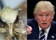 A newly discovered moth was after the 45th US President. The Donald Trump moth has yellow scales on its head which resembles Trump's hair.