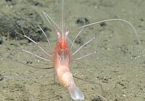 Living Stylodactylid Shrimp Documented 4826 Meters Deep
