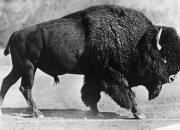 A herd of bison returns to their original habitat after more than a century of being hunted almost into extinction.