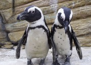 Climate changed has changed so much things in the African penguin's ecosystem. The most essential need for survival. If no one will do aomething about it, African penguins will go extcinct.