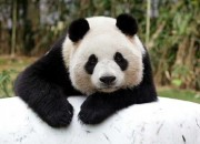 "The question ""why do pandas have black and white colors?"" has been on the minds of scientists for decades. Now a study published in the journal Behavioral Ecology seems to have the answers. The research was published by researchers from the University of California in Davis and the California State University in Long Beach."