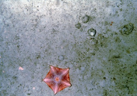 Starfish on the Ocean Floor (IMAGE)